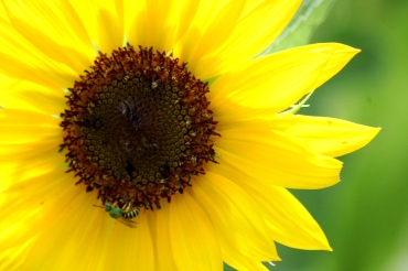 green bee on sunflower