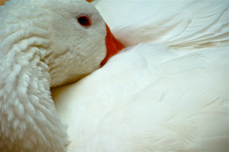 goose, goose,  DUCK!