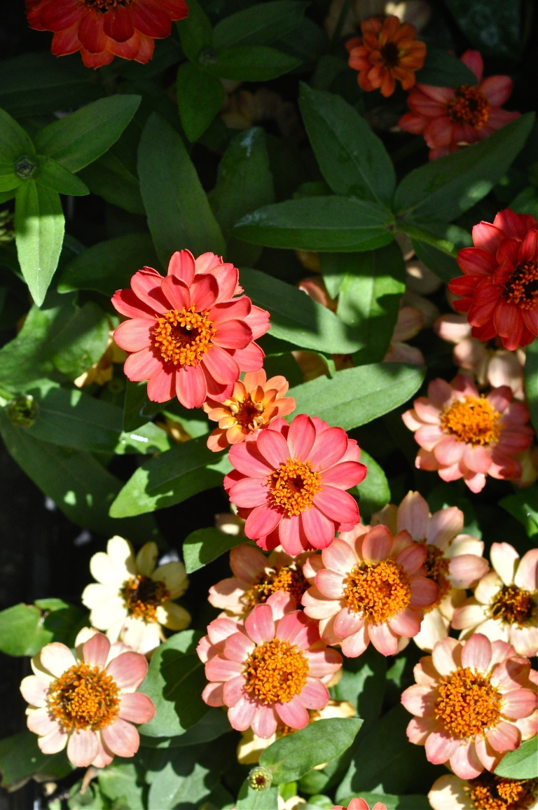 I have a hot spot on my garden, that these zinnia's thrive in.