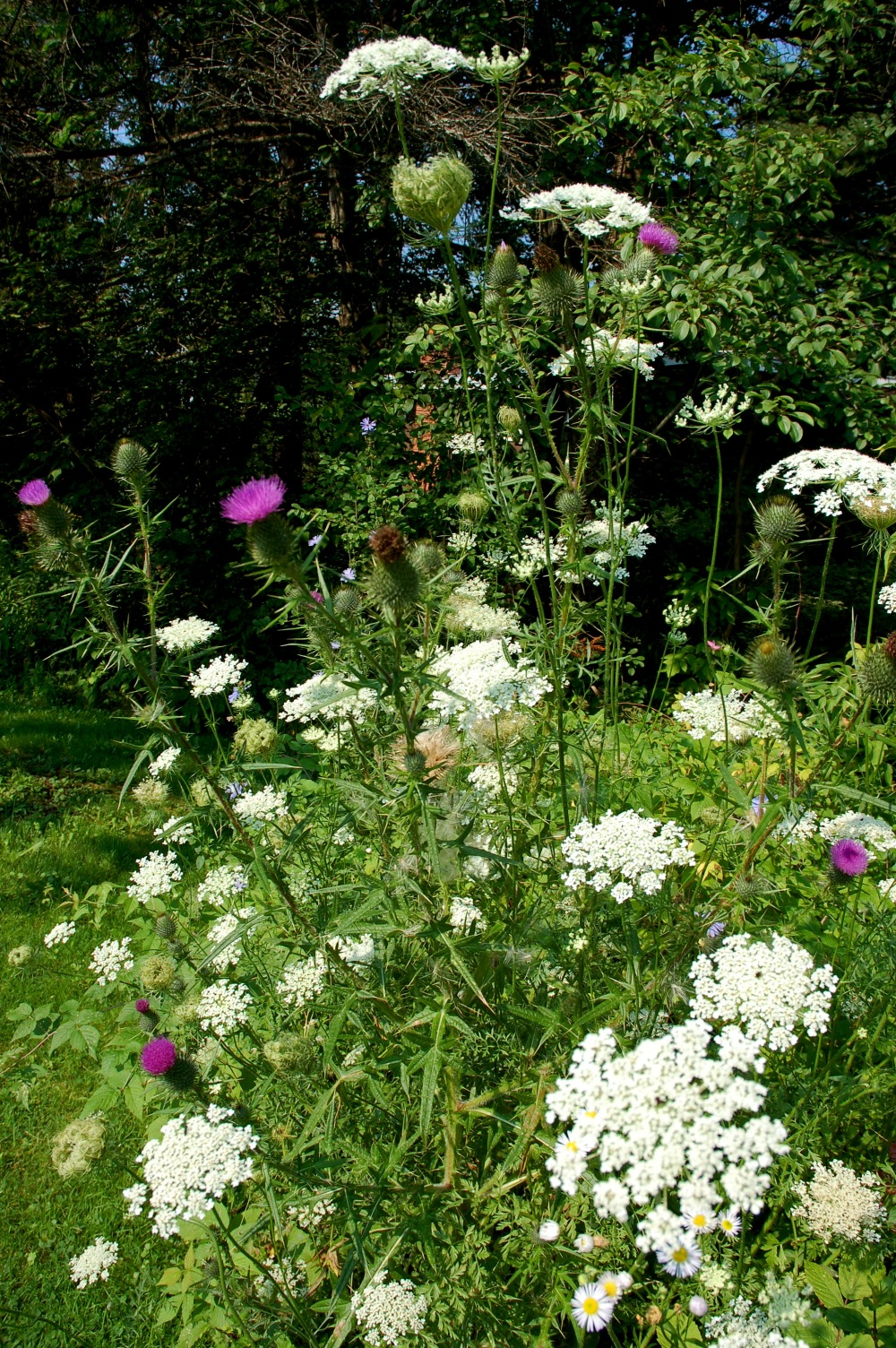 Queen Anne's lace & Scottish thistle across the street from my childhood home