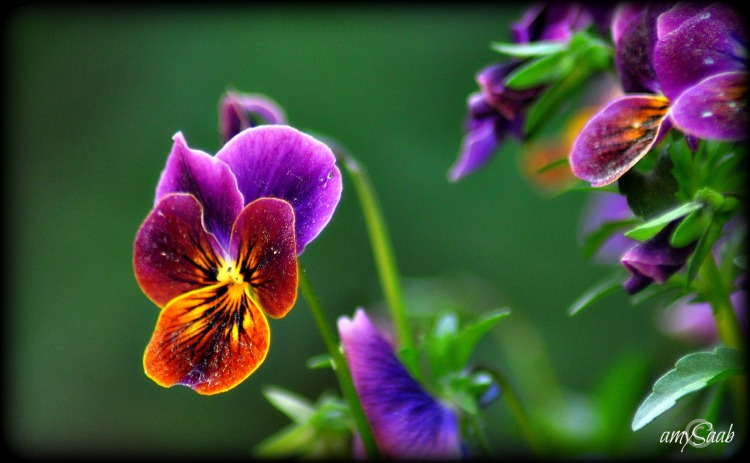 Good golly, that is one spectacular, colorful wee viola