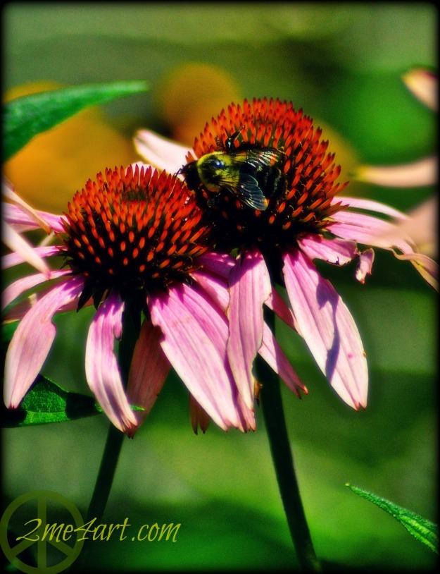 echinacia pollen & its bee