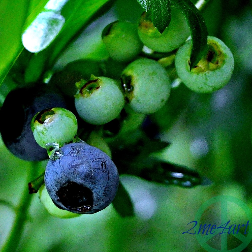 turning blueberries
