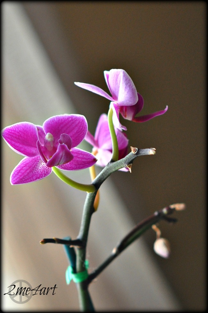 wee pink orchid