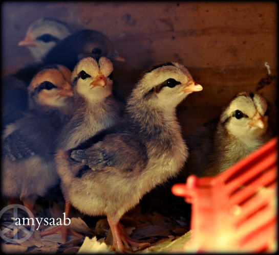 Bantam chicks...the cardboard sign beside the chicks said, 2.75 each. David said no, when i asked if i could have two.