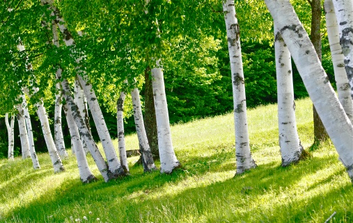 Birch trees on road to Trapp