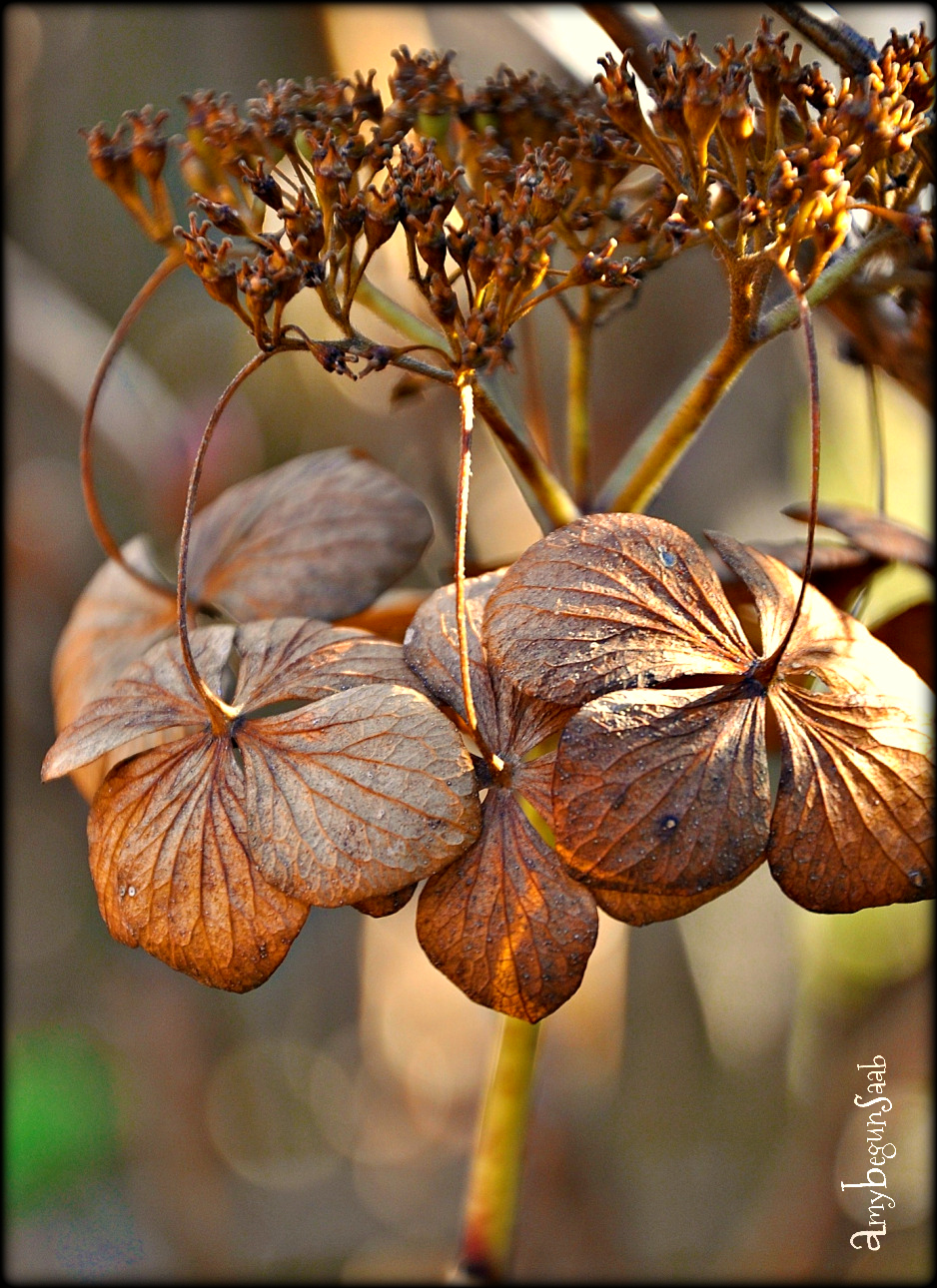 wildhydrangea